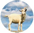 山羊と青空